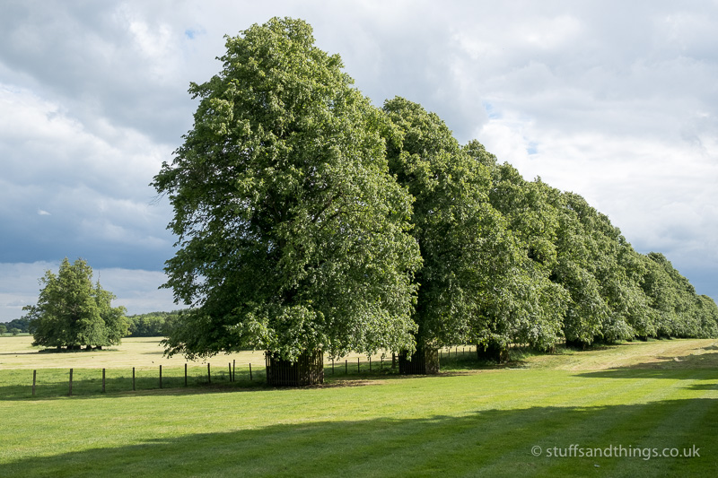 One of the two rows of Lime trees