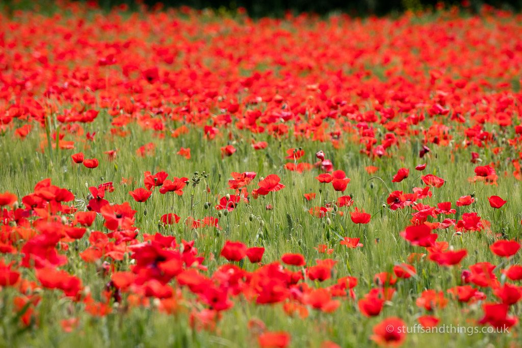 Poppies near Lucignano d'Asso in Tuscany